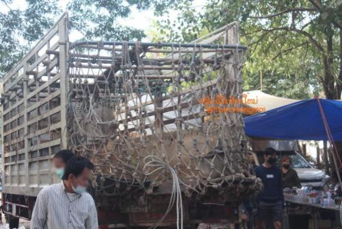 market-cow-sanpatong-23