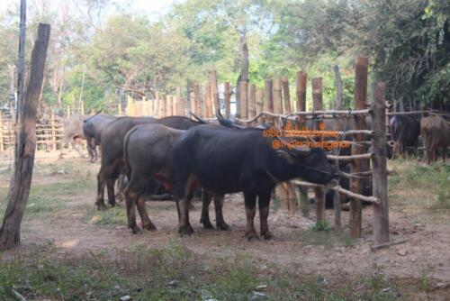 market-cow-sanpatong-25