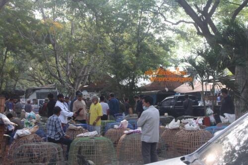 market-cow-sanpatong-27