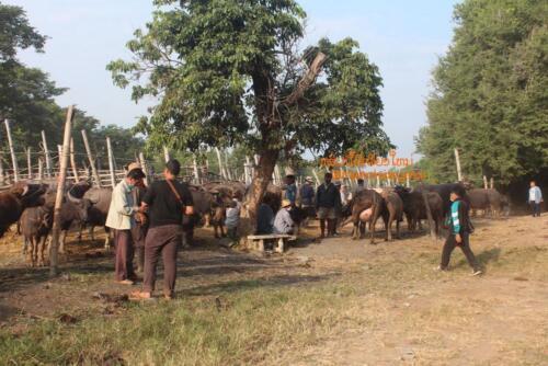 market-cow-sanpatong-30