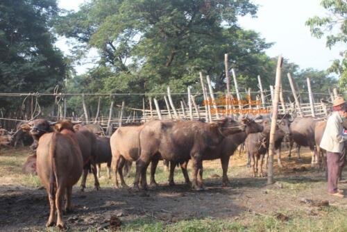 market-cow-sanpatong-31