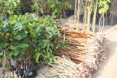 market-cow-sanpatong-56
